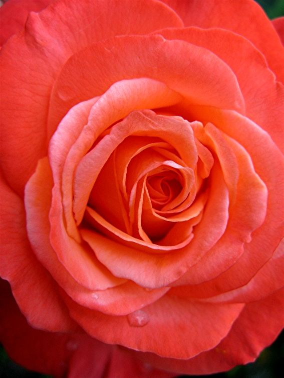164 best images about colors coral peach on pinterest - Rosas color coral ...
