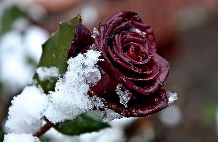 Картинки с зимними розами