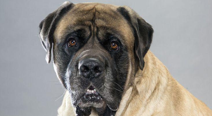 English Mastiff Dog Breed Information - American Kennel Club