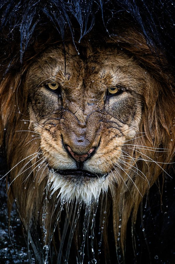 lion in the rain by ericesterle