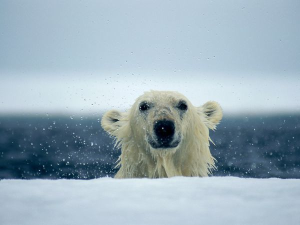 Photograph by Paul Nicklen  With their slightly webbed paws and powerful muscles, polar bears are excellent swimmers. Their favorite meal is seals, but they will eat anything they can catch, even scavenging through garbage in areas where their habitat overlaps with humans.