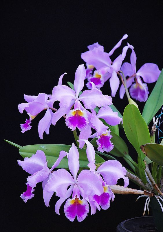 Cattleya Warscewiczii Alba X Alba Plant 2 Orchid Flower Beautiful Orchids Amazing Flowers