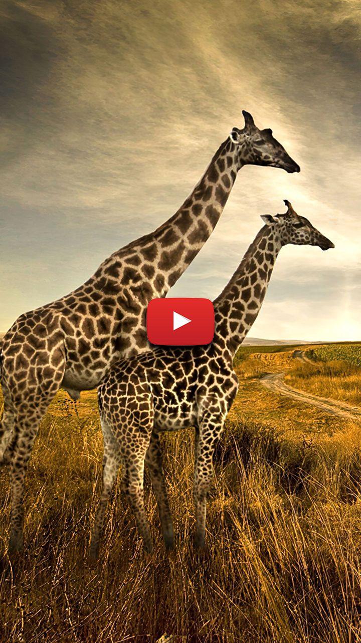 giraffe aesthetic wallpaper giraffe pictures