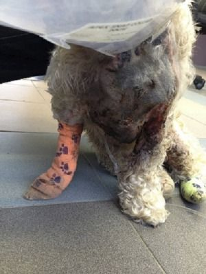 Miley the spoodle in 2013 at the time she suffered horrific burns at a dog salon owned by former Canberra dog groomer Lance Baker.
