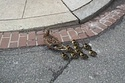 Duckling Safety: The Most Important News Coming Out Of Washington, DC Today : buzzfeed