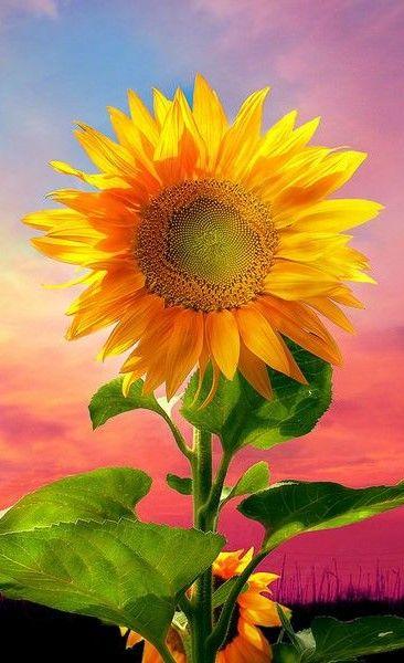 Sunflower                                                                                                                                                                                 Más