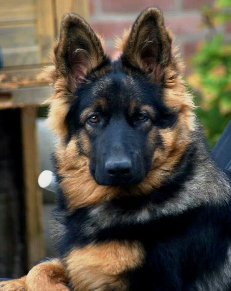 Beautiful German shepherd puppy