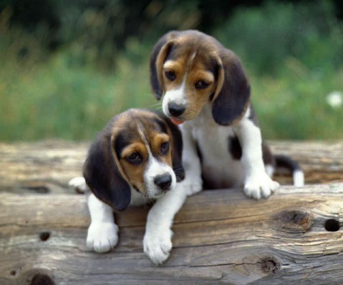 595 best beagle puppies images on pinterest beagle puppy beagle beagle puppies voltagebd Image collections
