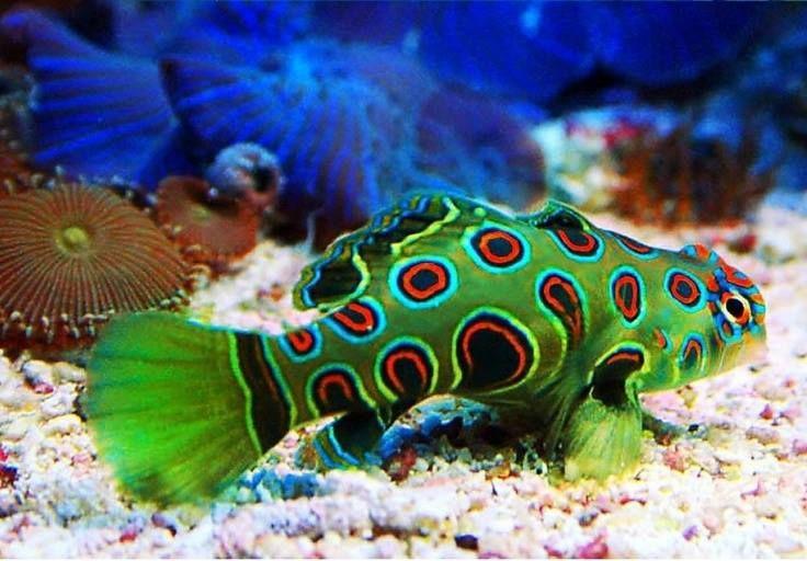 さかな Conhecido como peixe mandarim-psicodélico, este é um animal parente do peixe-mandarim. O mandarim-psicodélico é um dos poucos animais cuja coloração azul é resultado de uma pigmentação proveniente das células. Nos outros casos, a cor azul geralmente é dada pela interferência da luz que passa por uma película de moléculas de purina (uma base nitrogenada), que vai refletir a luz azul. Biologia com o Prof. Jubilut www.biologiatotal.com.br