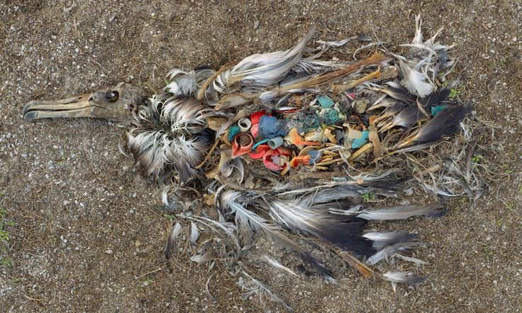 Dead bird On Midway Atoll, far from the centres of world commerce, an albatross, dead from ingesting too much plastic, decays on the beach – it is a common sight on the remote island Photograph: Chris Jordan