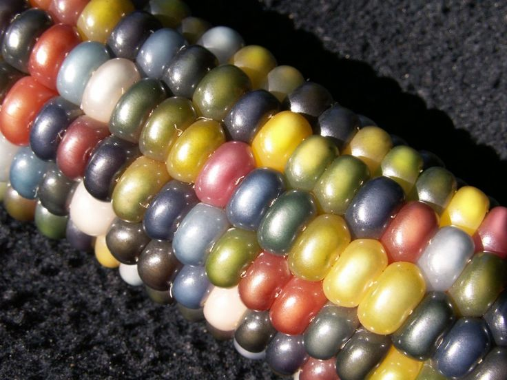 Glass Gem Corn: Click through for the story on this most beautiful flint corn. Most people grind it up into cornmeal and use it in tortillas or grits because it's very starchy.