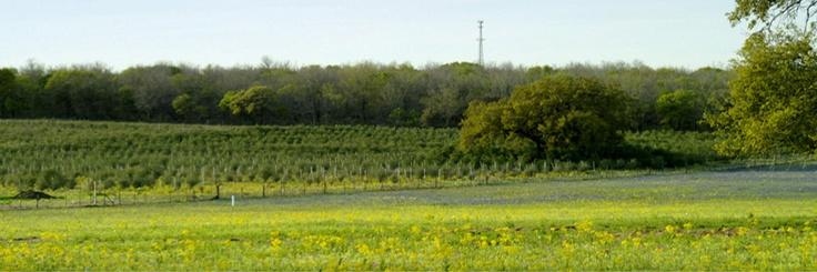 Sandy Oaks - Olives with a Texas Accent! (TM), Elmendorf, Texas (near San Antonio)