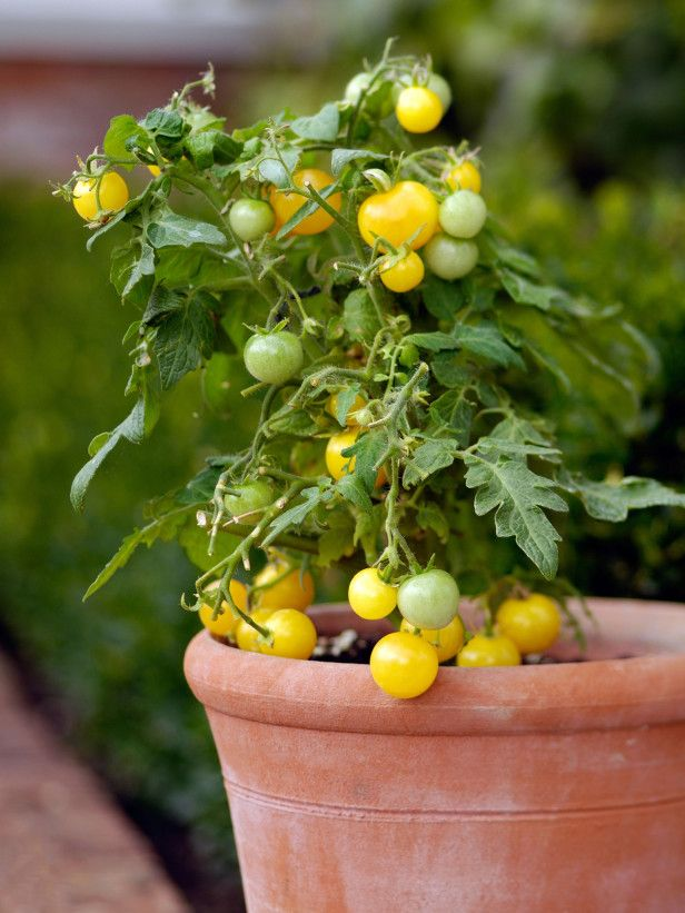 Dwarf Tomatoes Grow Well in Deep Patio Containers