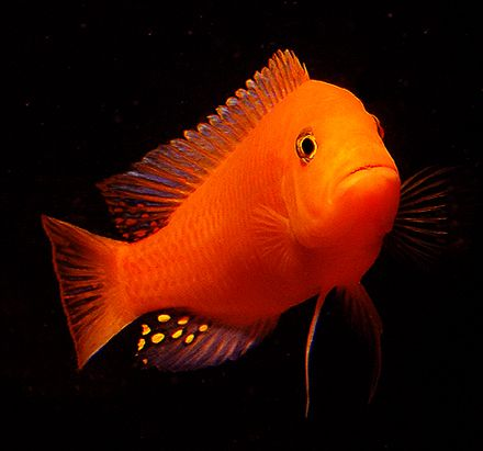 Top Quality Cichlids fish - cichlids Fish for sale all over india - Best Cichlids Aquarium Fish #Cichlid, #aquarium