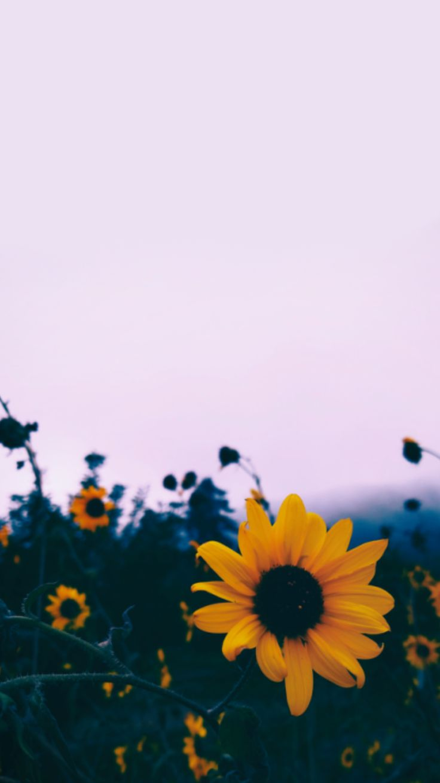aesthetic sunflower wallpaper