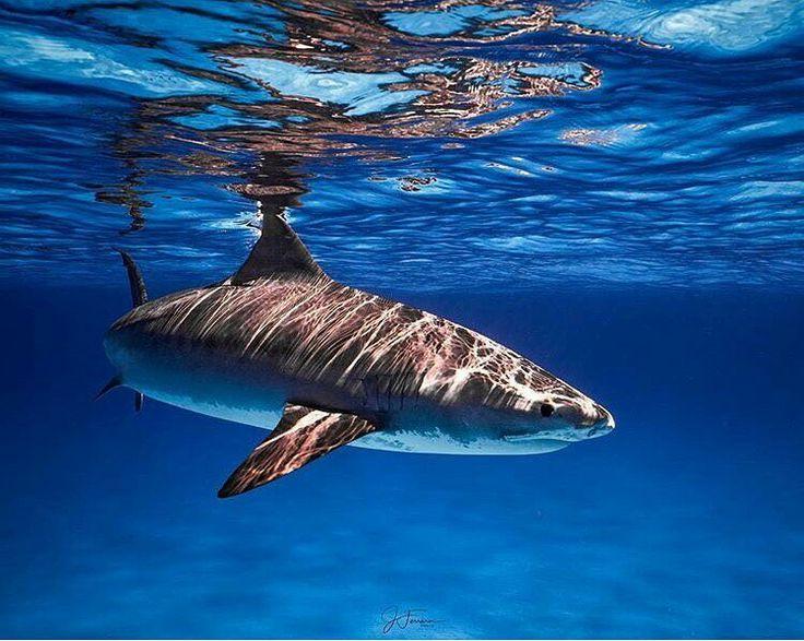 Sharks, Shark