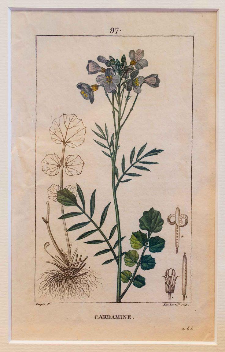 Kuvassa kasvi Litukka.  Alkuperäinen gravyyri vuodelta 1816. Käsinväritetty.  Kuvat ovat kirjasta: Flore medicale, Pierre Turpin (1816)  Kuva on kehystetty.