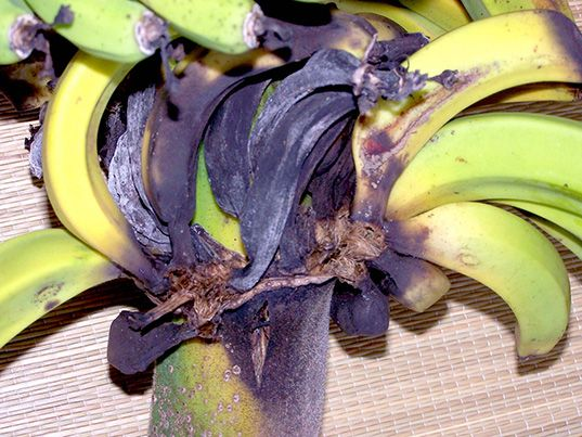 Bananas May Become Extinct as Fungus Spreads Around the World ... /;(