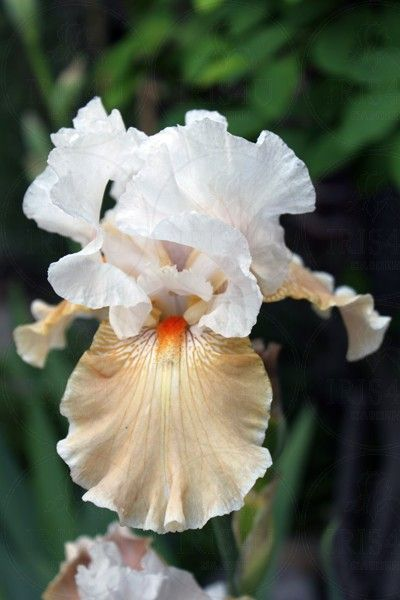Tall Bearded Iris `Just Teasing� - iris4u.com