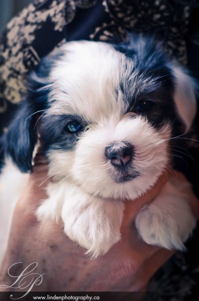 Whimsey.  Coton de Tulear puppies at 7 weeks, too cute. I heart you!: Tulear Puppies, Coton De Tulear