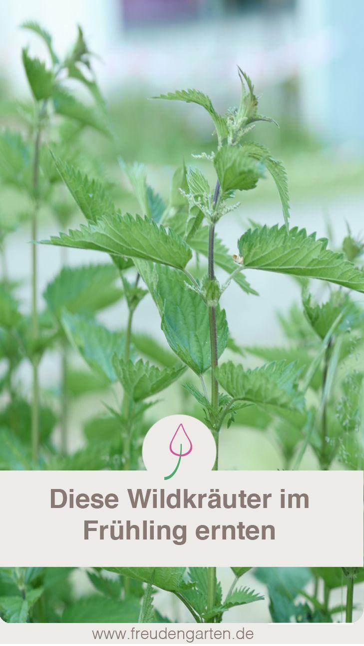 Wildkräuter sammeln. Mit Tipps für Rezepte. #Garten #Kräuter #Wildkräuter #Herbs