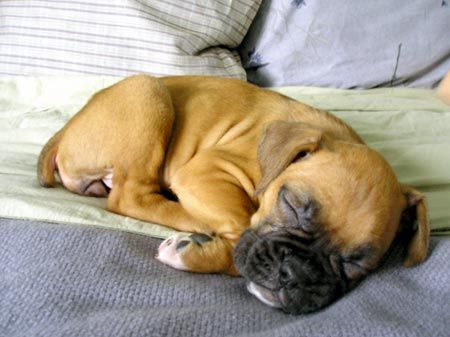 Sleeping boxer baby! This defines cuteness...