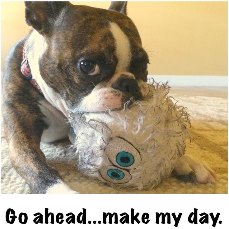 It's Monday. Go ahead...make my day. Boston Terrier Attitude! #bostonterrier #attitude #monday