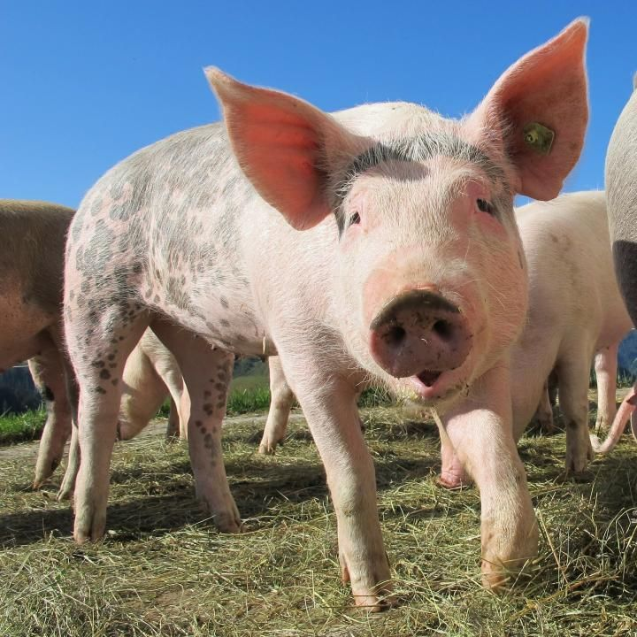 The Perks Of Pigs Fun Facts About Pigs Cute Pigs Little Pigs Animals