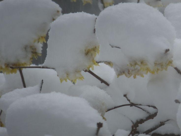 雪と蝋梅(その1)