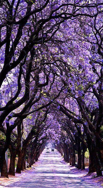 Jacaranda Tree Tunnel, Sydney, Australia