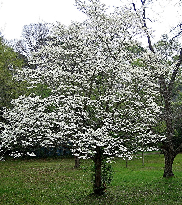 27 best dogwoods images on pinterest dogwood trees flowering white dogwood tree cornus florida ruba zones 5 9 grows 25 mightylinksfo