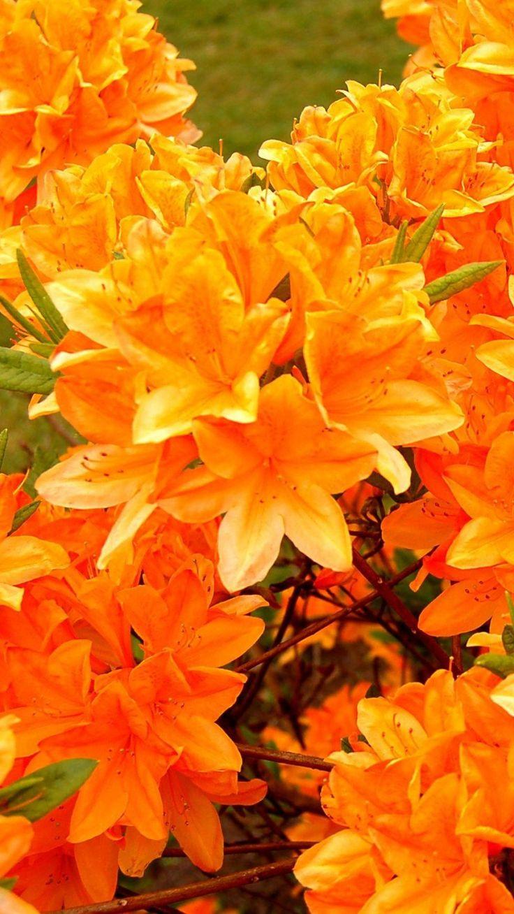 azalea, flowering, orange, bright