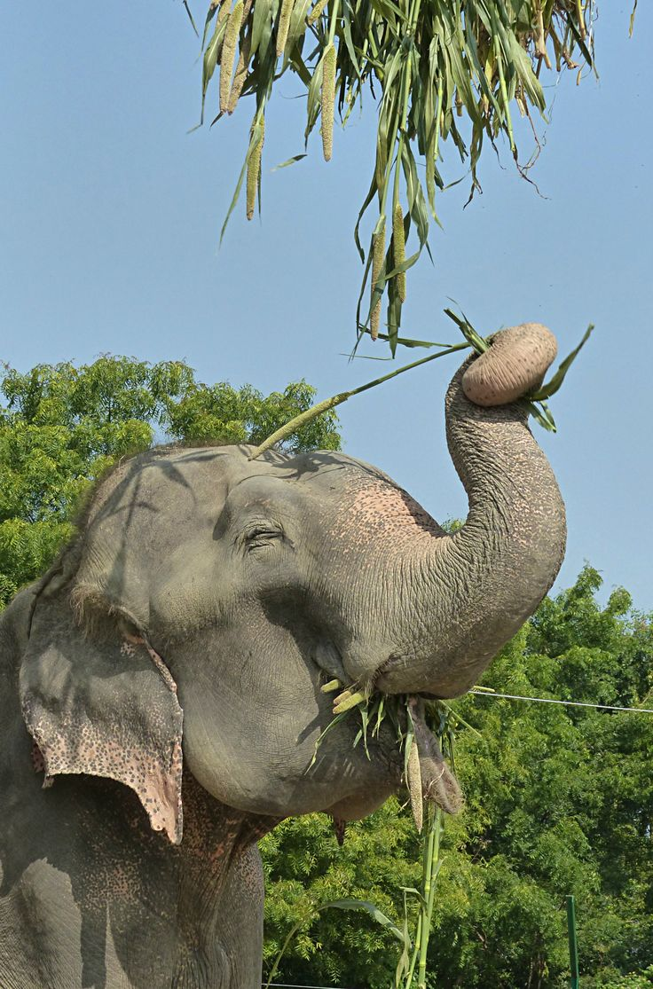 Here's Raju enjoying his new enrichment at Elephant Conservation and Care Center.