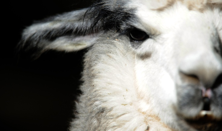 Alpaca Facts: 10 Things You Never Knew About The Llamas Quirky Relative