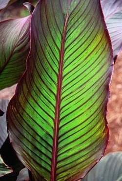 86 best flower and leaves images on pinterest plants beautiful canna indica red stripe bunga tasbih ccuart Image collections
