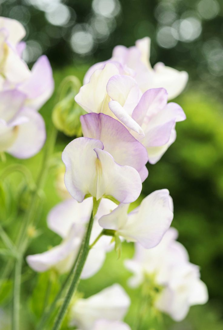 Lathyrus odoratus 'Hi Scent': this sweet pea bears pretty, cream flowers with a purple picotee edge and an incredibly strong fragrance. It will quickly cover a trellis or obelisk in the garden, and makes a fantastic cut flower. Flowers in the summer through June, July, August. Find out more: http://www.gardenersworld.com/plants/lathyrus-odoratus-hi-scent/4343.html Photo by Jason Ingram