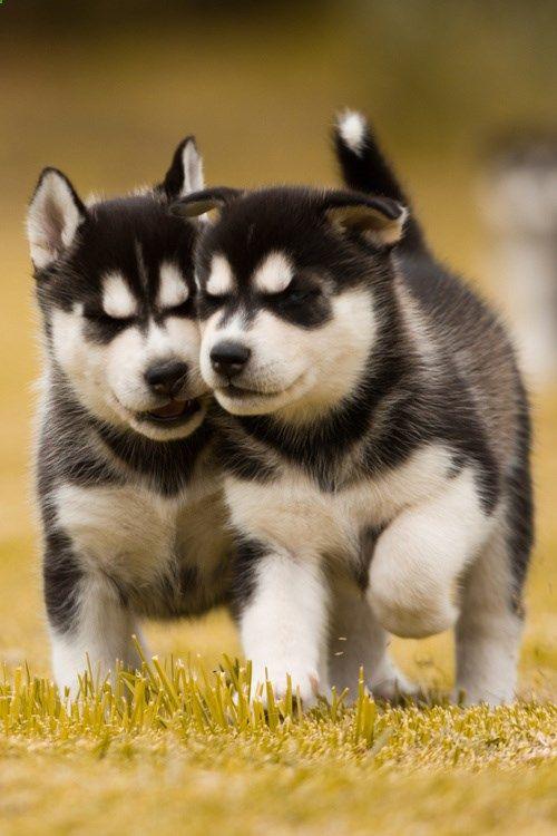 price purebred husky puppies price siberian husky puppies price range husky puppies for sale beagle puppies