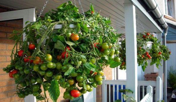 Tanaman Hidroponik Tomat Hidroponik Tanaman Ide Berkebun