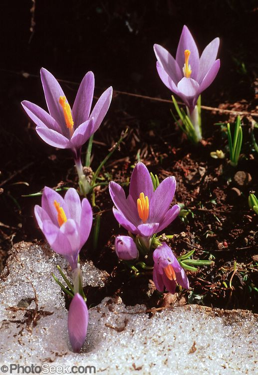 Purple crocus flowers emerge from snow in May in alpine areas of the Tymfi Massif, in the north Pindus Mountains (Pindos or Pindhos), around Zagoria, Epirus/Epiros, Greece, Europe. Zagori (Greek: ) is a region and a municipality in the Pindus mountains in Epirus, in northwestern Greece. Zagori contains 45 villages collectively known as Zagoria (Zagorochoria or Zagorohoria).