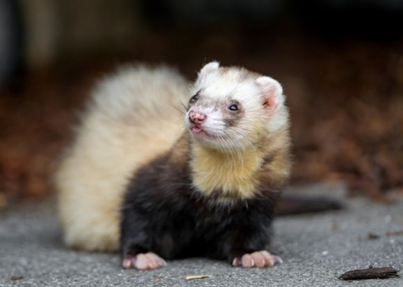 cute ferret with a tongue peeking out