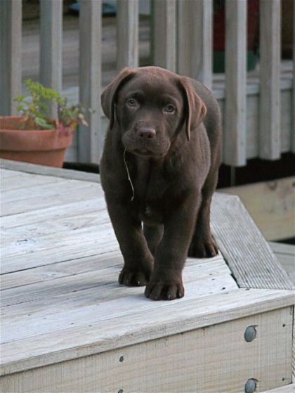 brune labrador hvalpe til salg
