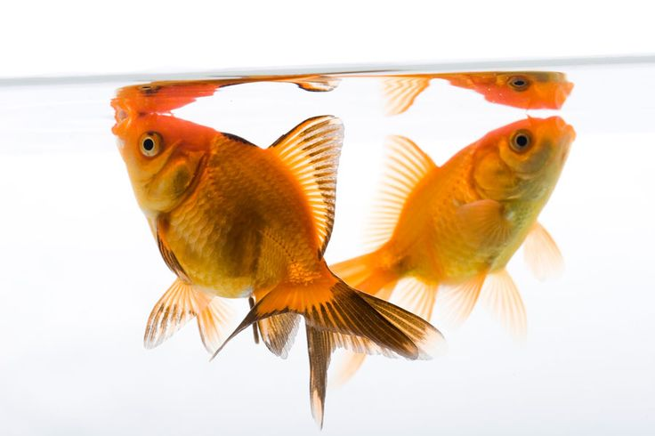 1049 best goldfish images on pinterest red fish for Koi cuidados