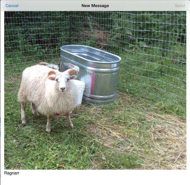 Ragnarr: Icelandic sheep...ram lamb July 2015
