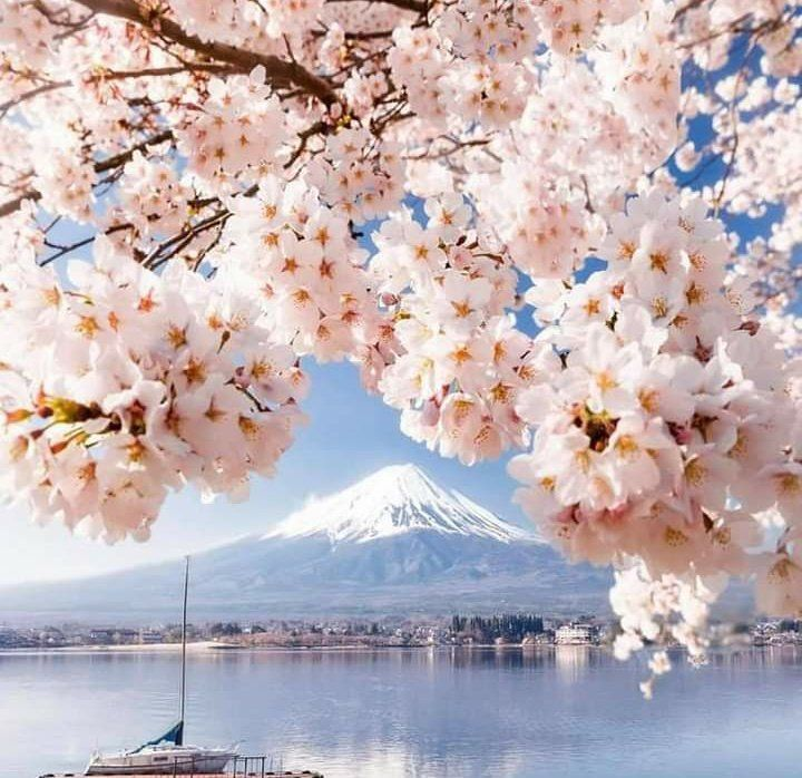 Best Times To Visit Japan For Cherry Blossoms In 2021 Tips For A Great Viewing Experience Japan Travel Destinations Japan Travel Cherry Blossom Japan