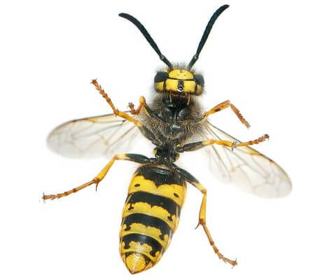 Wasp Removal | Pest Control