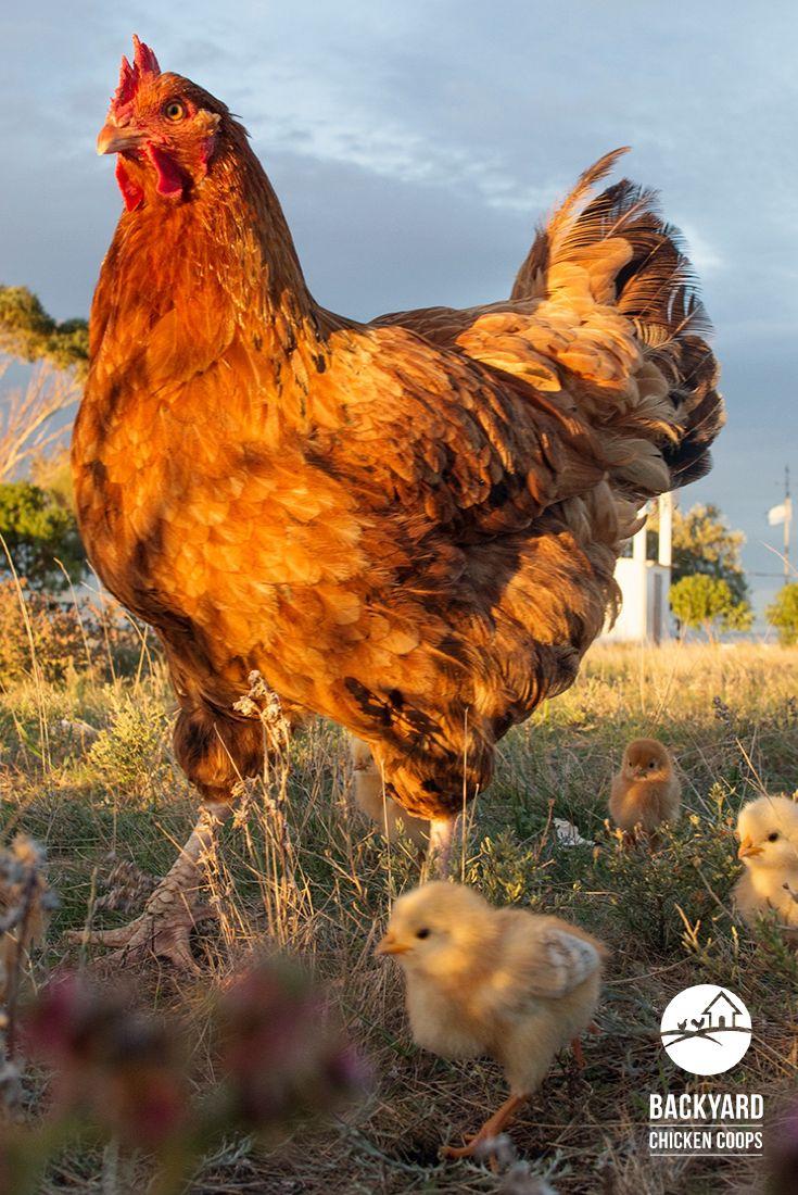 Das New Hampshire Huhn ist eine große Rasse in satten Rottönen.