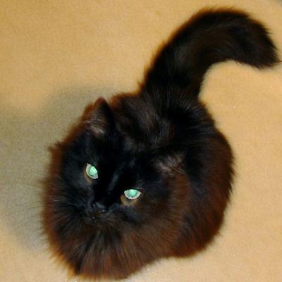 Chantilly-Tiffany cat.