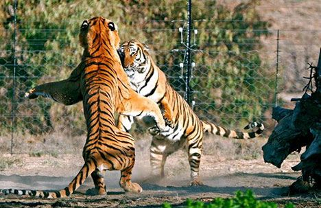 A tiger boxing match!