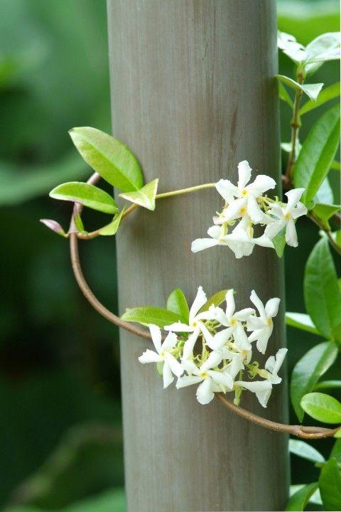 Trachelospermum jasminoides - Toscaanse jasmijn, sterjasmijn wintergroen