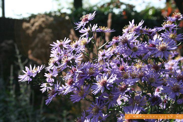 Tuininspiratie De Rooy Hoveniers stadstuin tuin van het jaar 2014 bloemen herfstaster Woudrichem